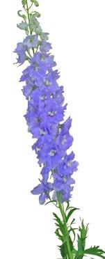 4月16日の誕生花