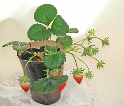 鉢植えいちご
