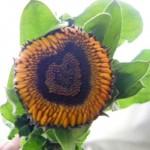金盞花(キンセンカ)