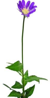 3月11日の誕生花