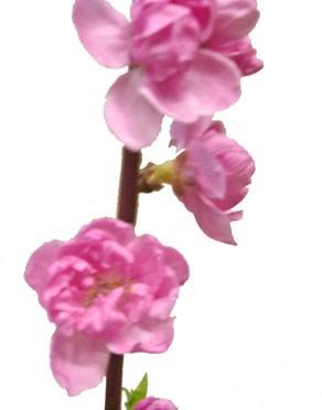 3月3日の誕生花「桃」