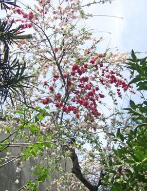 枝垂れ桃 3月の誕生花 3月の誕生花  366日のフラワーギフトのための誕生花