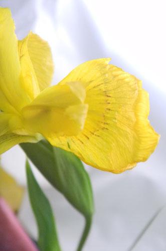 黄色のアヤメ