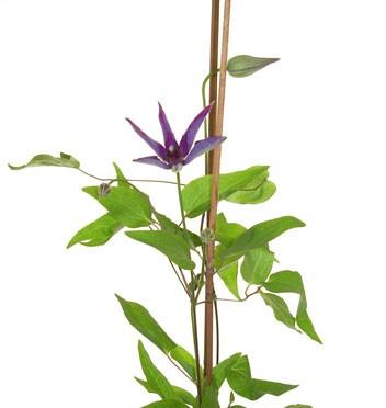 5月3日の誕生花