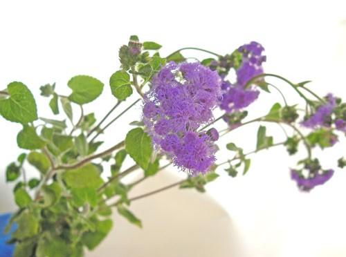 5月10日の誕生花「アゲラタム」