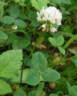 5月9日の誕生花「クローバー」