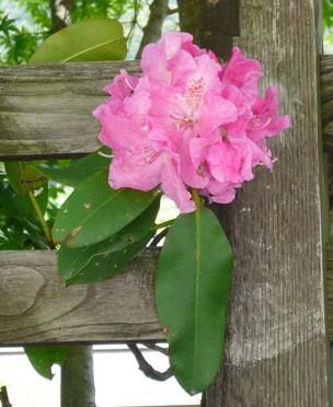 5月8日の誕生花「石楠花(シャクナゲ)」
