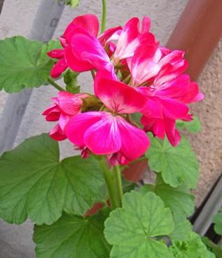 4月24日の誕生花