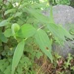 ササユリの種子
