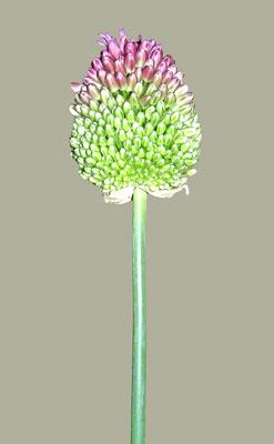6月7日の誕生花