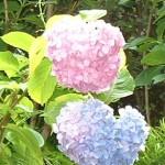 ペア紫陽花