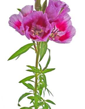 6月4日の誕生花