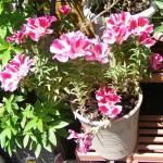 鉢植えのゴデチア