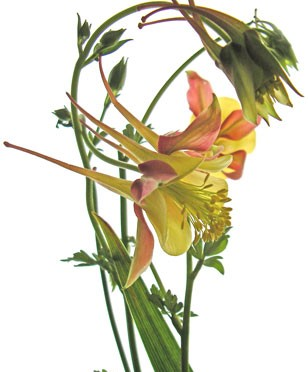 5月20日の誕生花