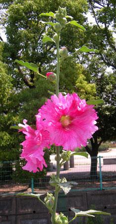 7月2日の誕生花