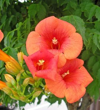 7月20日の誕生花