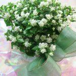 エキザカムの鉢植えギフト