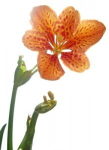 8月15日の誕生花