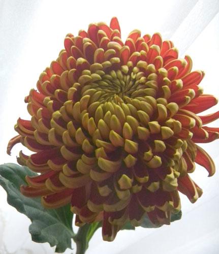 9月9日の誕生花