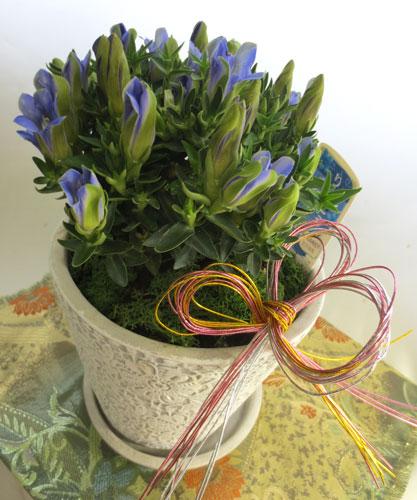 リンドウの鉢植えギフト