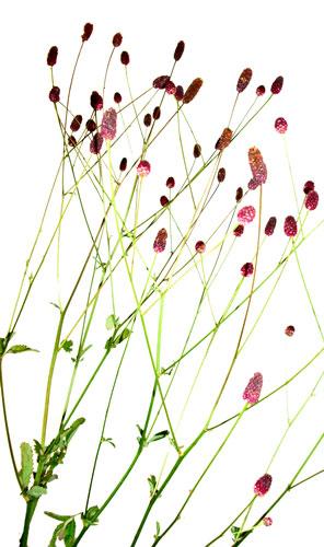 9月30日の誕生花