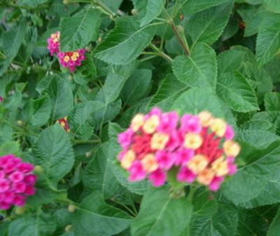 9月7日の誕生花-ランタナ