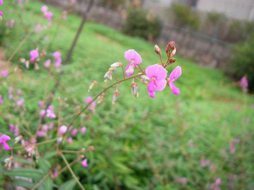 9月25日の誕生花「萩(ハギ)」