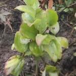 サンキライの新芽