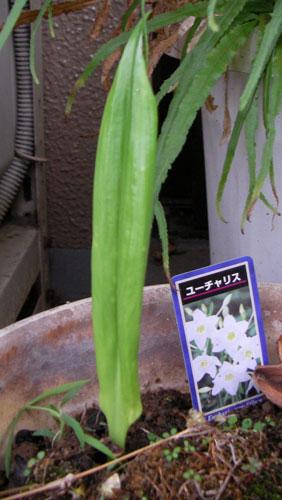 ユーチャリスの芽