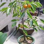 鉢植えの柿