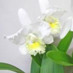カトレアの鉢植えギフト