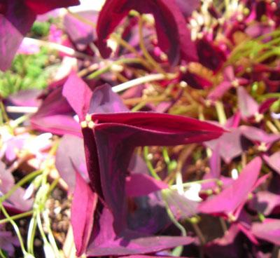 閉じたオキザリスの葉