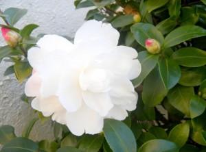 11月27日の誕生花
