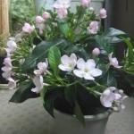 鉢植えの匂い桜