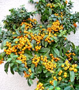 オレンジの実のピラカンサ