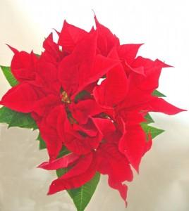 12月の誕生花