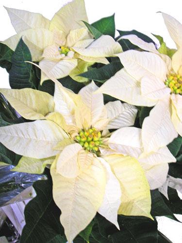 ポインセチア白花