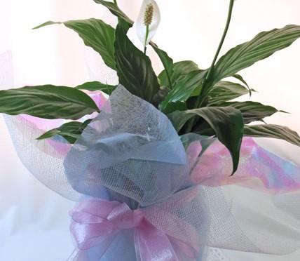 スパティフィラムの鉢植えギフト