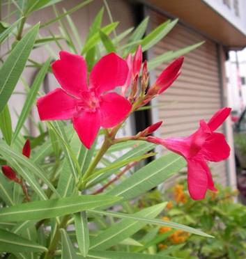 8月12日の誕生花