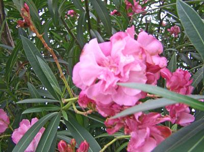 八重花キョウチクトウ