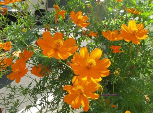 10月2日の誕生花