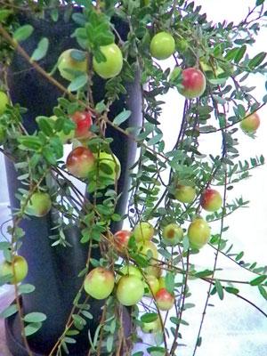 蔓苔桃(ツルコケモモ)