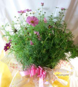 コスモスの鉢植えギフト