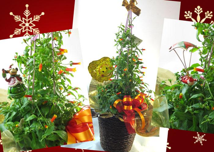 マネッチアの鉢植えギフト