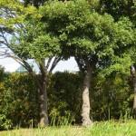 キンモクセイの垣根
