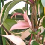 サクラランの葉