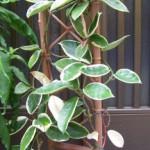 サクラランの鉢植え