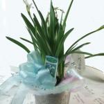 スノーフレークの鉢植えギフト
