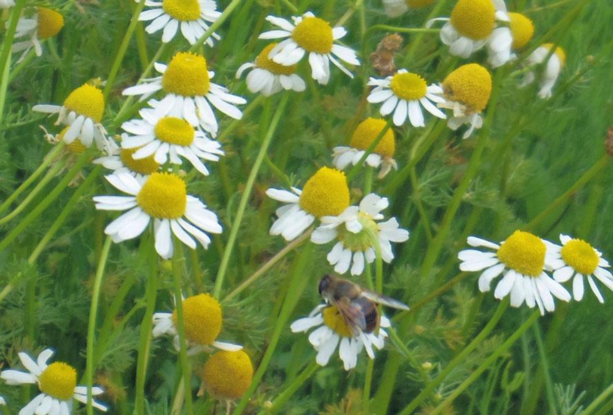 カモミール畑のミツバチ