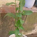 ルドベキアの鉢植え